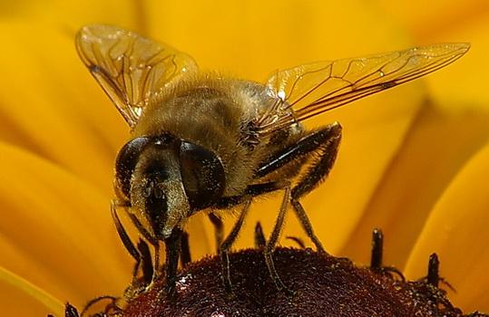 Biene auf Sonnentau_120807 (39)