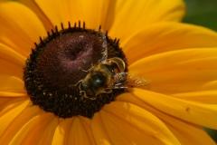 Biene auf Sonnentau_120807 (29)