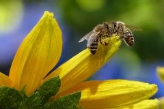 Bienen auf Zucchini