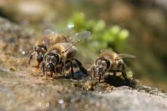Bienentränke02